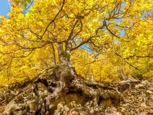 Gnarly oak with mighty roots, yellow autumn foliage  #! - Knorrige Eiche mit mächtigen Wurzeln, gelbes Herbstlaub #1